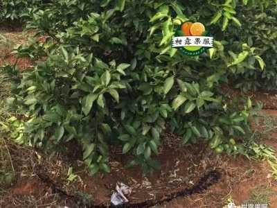 每两年落一次叶的树 沃柑全程栽培技术沃柑第二年树的管理要点